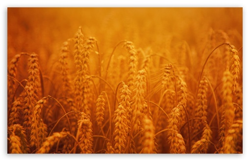 Download Golden Harvest Crops UltraHD Wallpaper