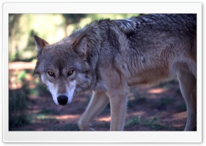 Gray Wolf Hunting by Dave...