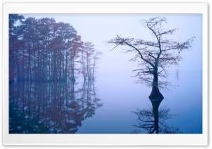 Bald Cypress in Fog, Reelfoot...
