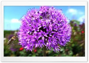 Purple Onion Flower