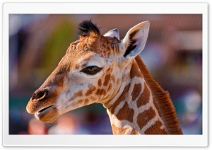Portrait of a Baby Giraffe