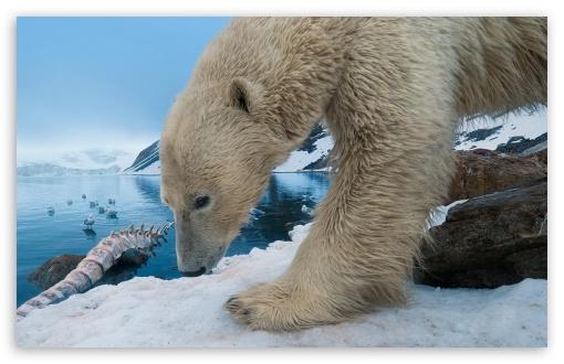 Download Polar Bear With Whale Bone UltraHD Wallpaper