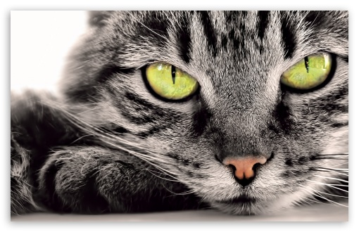 Download Gray Cat UltraHD Wallpaper
