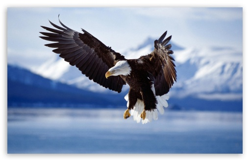 Download Bald Eagle UltraHD Wallpaper