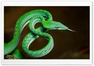 Stunning Green Vine Snake,...