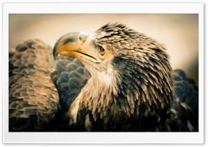3 Year Old Bald Eagle