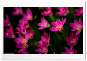 Pink Lillies