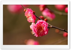 Beautiful Plum Blossoms Blooming