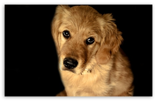 Download Golden Retriever Dog UltraHD Wallpaper
