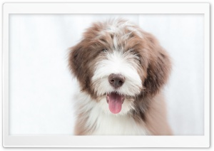 Bearded Collie Puppy, Dog