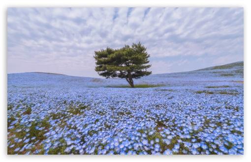 Download Nemophila Flower Field UltraHD Wallpaper