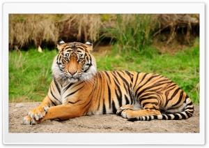 Tiger Sitting Majestic