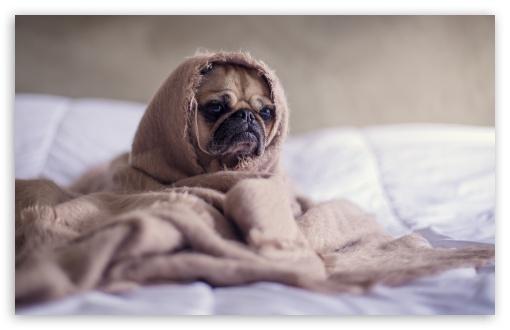 Download Adorable Pug Dog UltraHD Wallpaper