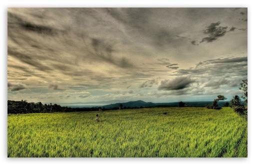 Download Rice Field HDR UltraHD Wallpaper