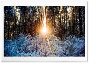 Sunlight Through Trees, Winter