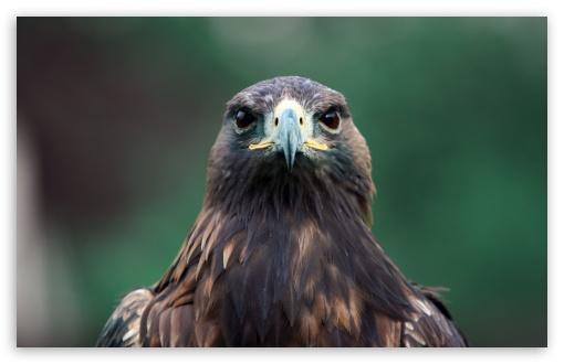Download Bird Of Prey UltraHD Wallpaper