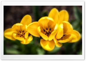Spring Yellow Tulips Flowers
