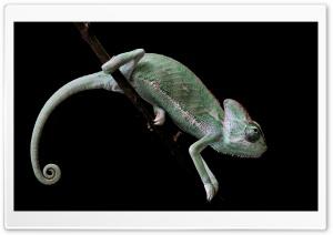 Veiled Chameleon, Old World...