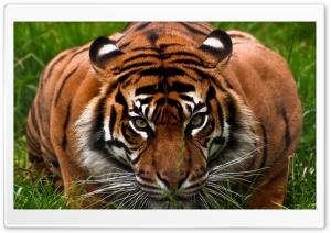 Tiger Aggression