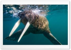 Walrus Underwater
