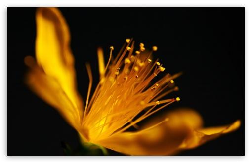 Download Yellow Flower Macro UltraHD Wallpaper