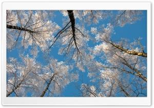 Birch Tree Tops, Winter