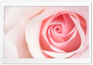 Beautiful Light Pink Rose...