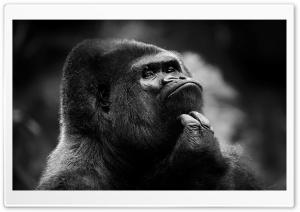 Thoughtful Gorilla BW