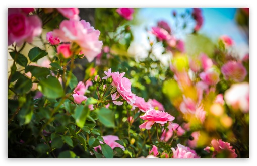 Download Pink Roses UltraHD Wallpaper