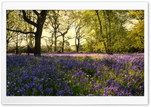 Bluebells Flowers, Woods, Spring