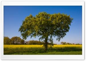 Tree By A Field Of Rape