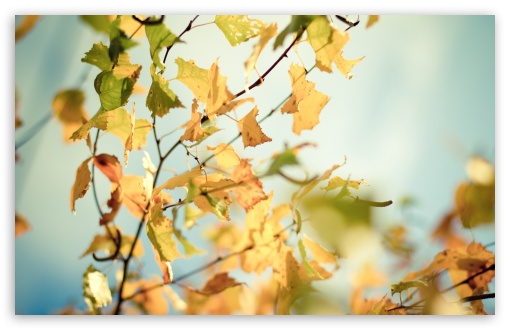 Download Yellowed Autumn Leaves UltraHD Wallpaper
