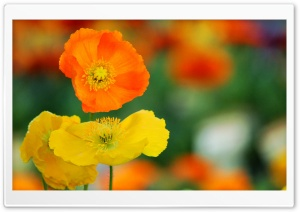 Colorful Poppies Flowers