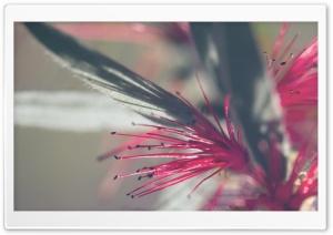 Callistemon Citrinus Flowers