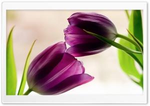 Tulips Violet Petals