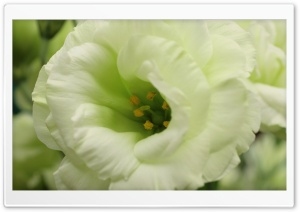 White Flower Macro Photography