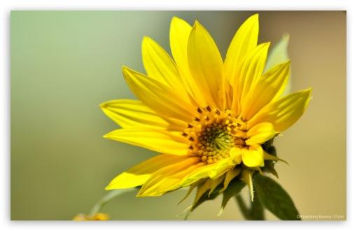 Download Yellow Flower UltraHD Wallpaper