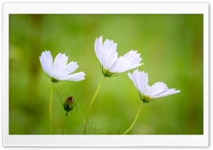 White Cosmos Flowers, Green...