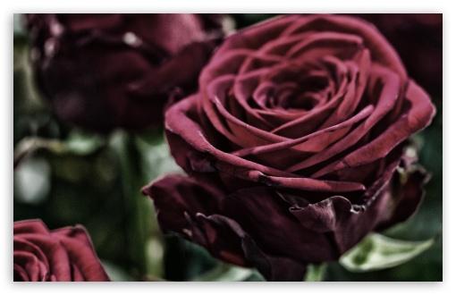 Download Velvet Rose UltraHD Wallpaper