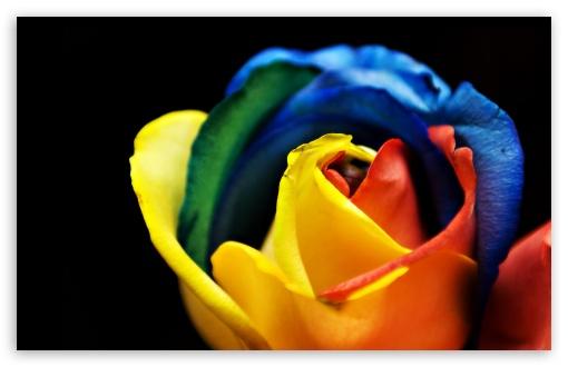 Download Rainbow Rose Macro UltraHD Wallpaper