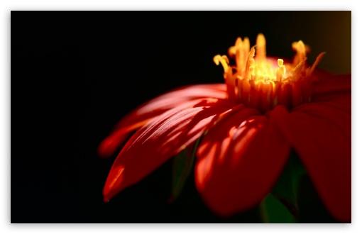 Download Red Petals UltraHD Wallpaper