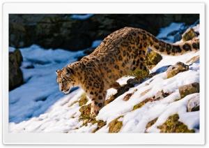 Snow Leopard Walking Down