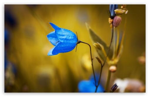 Download Harebell Flower UltraHD Wallpaper