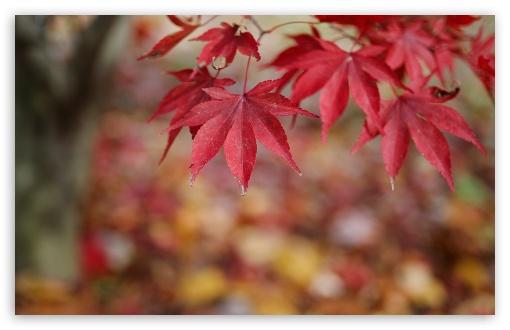 Download Red Leaves Bokeh UltraHD Wallpaper