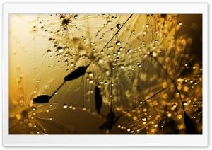 Wet Dandelion Seeds Macro