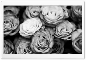 Roses Black And White