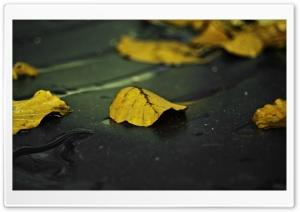 Yellow Leaves On Wet Asphalt