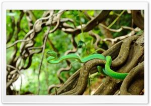Oriental Vine Snake