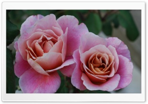 Two Beautiful Pink Roses Flowers