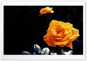 Yellow Blossom II